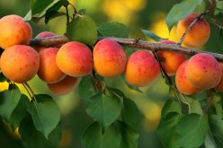 Can I buy fruit trees in the UK?