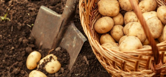Interesting Things About Potatoes