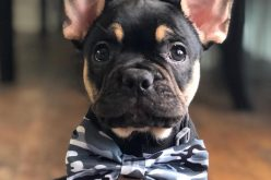 What are the exercise requirements for a French bulldog?